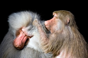 baboon grooming another closeup isolated on black